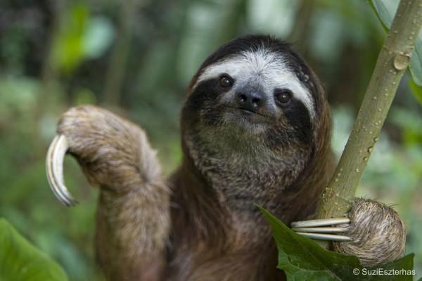 Brown-throated Three-toed Sloth Bradypus variegatusMaleAviarios Sloth Sanctuary, Costa Rica*Rescued and in rehabilitation program