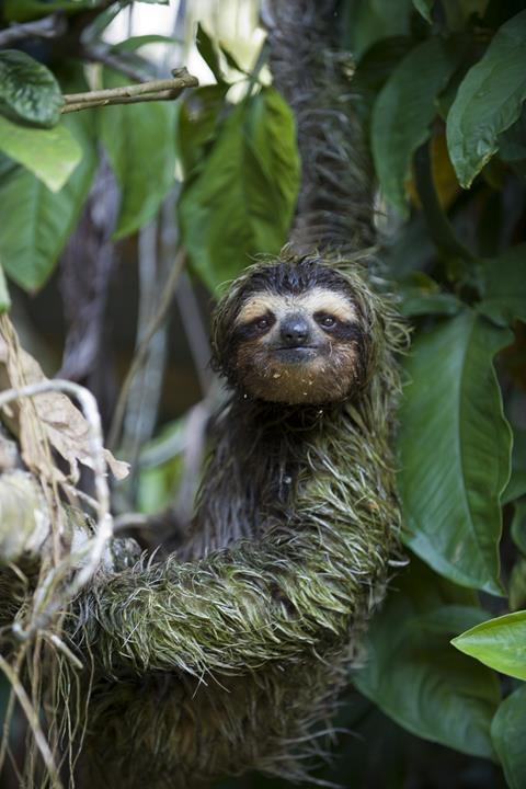 Brown-throated Three-toed Sloth Bradypus variegatus Male (covered in algae) Aviarios Sloth Sanctuary, Costa Rica
