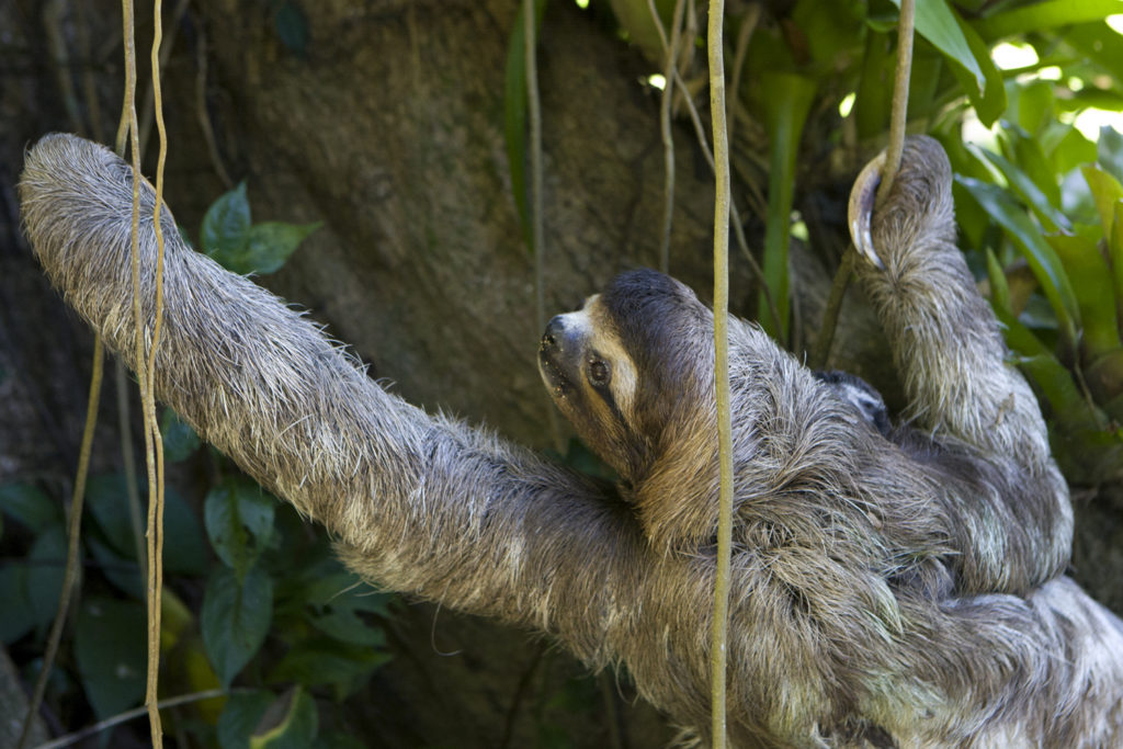 Brown-throated Three-toed Sloth Bradypus variegatus Mother with newborn baby (less than 1 week old) climbing tree Aviarios Sloth Sanctuary, Costa Rica