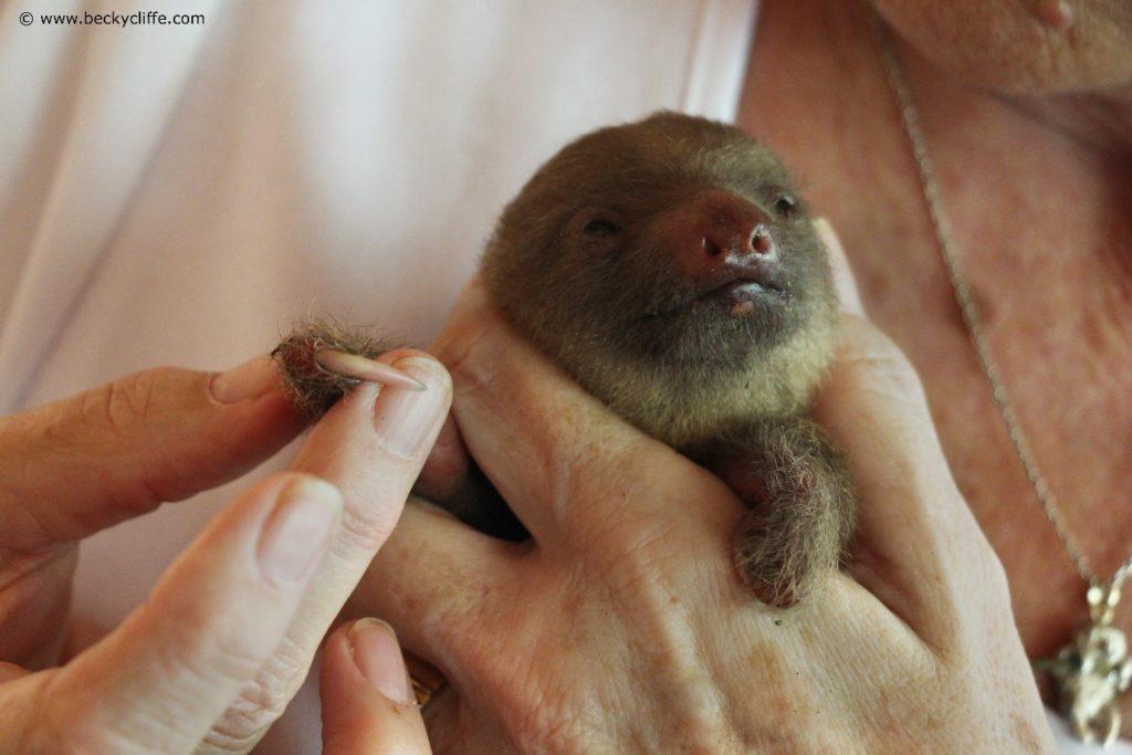 Baby sloth with deformities