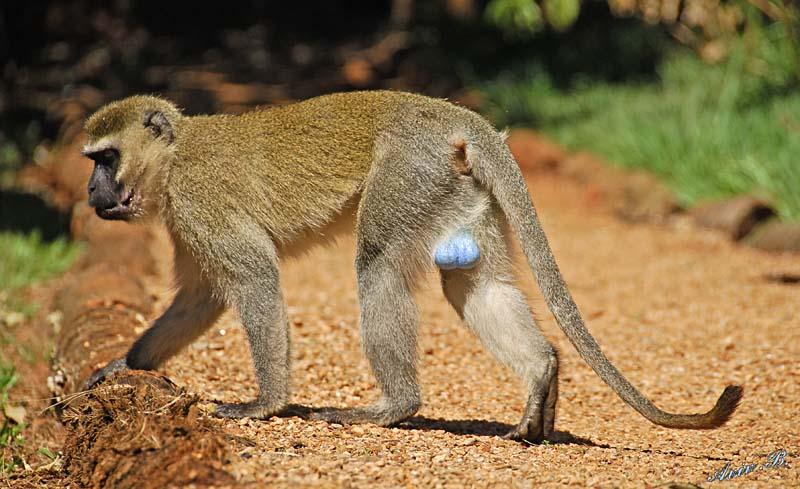 vervet monkey blue balls