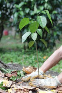 planting sloth sangrillo tree