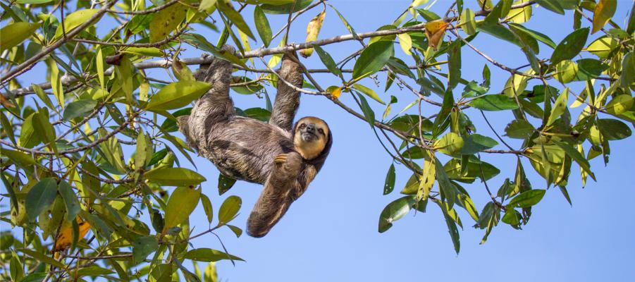 paled sloth hanging suzi eszterhas