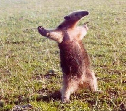anteater standind meme