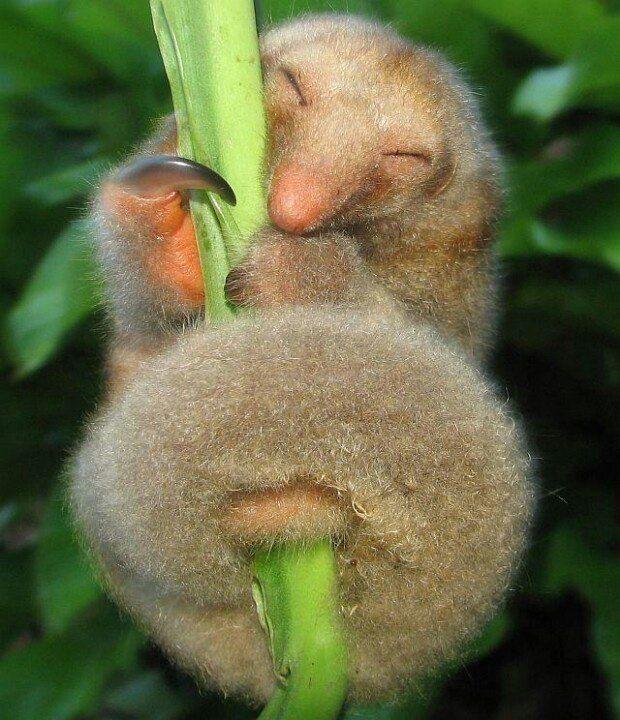 sliky anteaters
