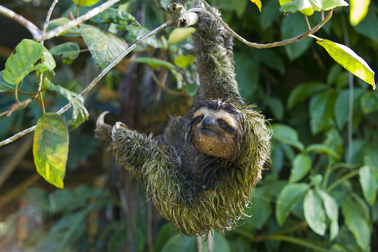 strong sloth
