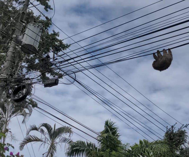 electrocutions sloth