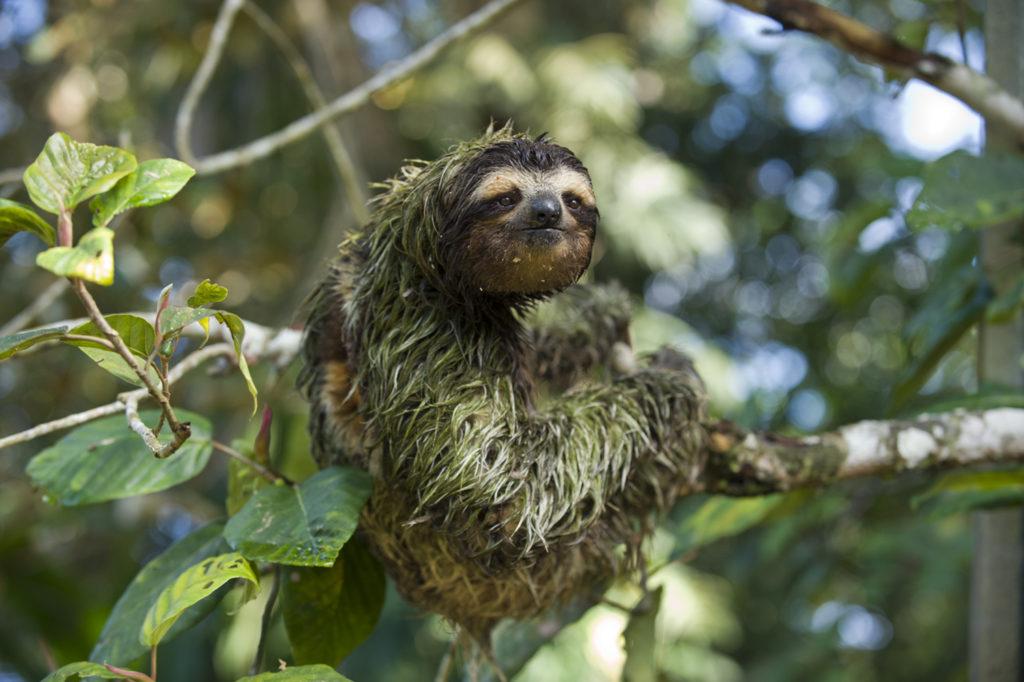 Green algae sloth
