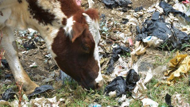 plastic-free cow