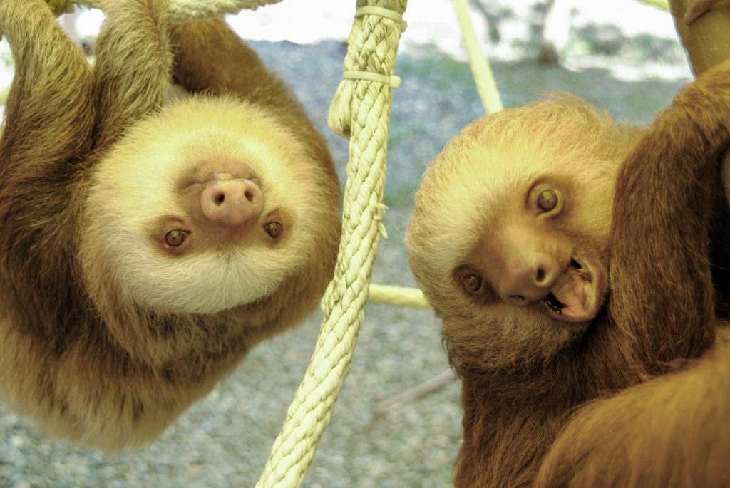 Sloths utrning their heads facts
