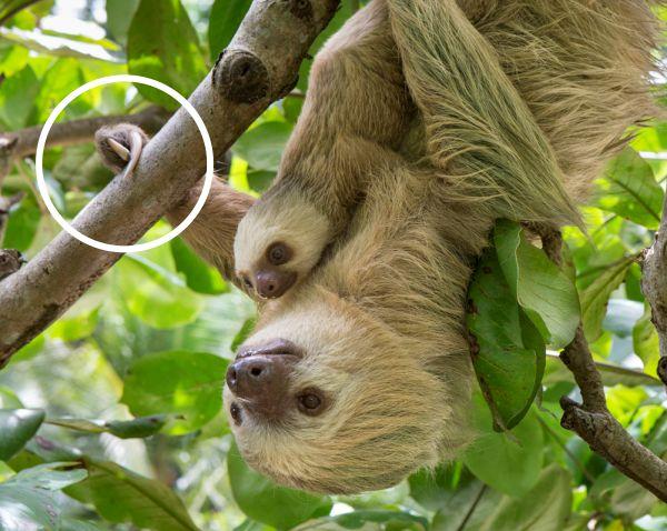 facts sloth toed finger nails Suzi Eszterhas
