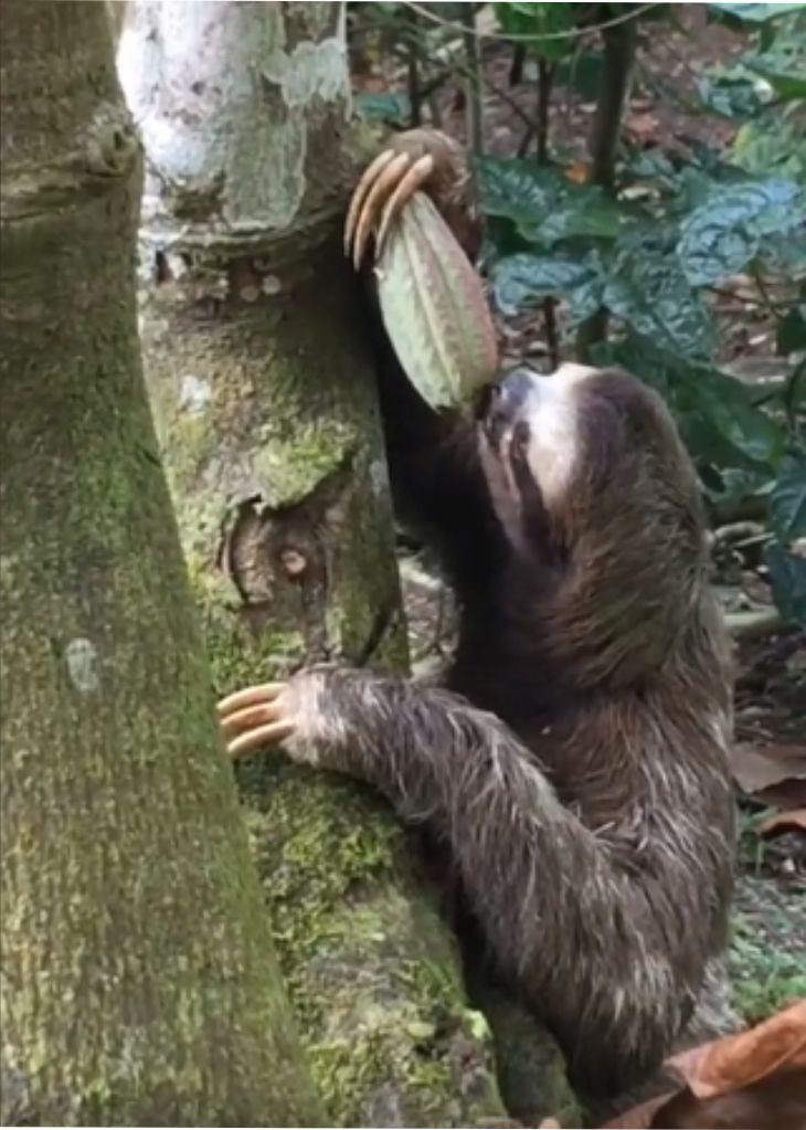 sloths chocolate