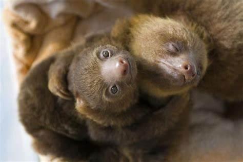 orphan baby sloths