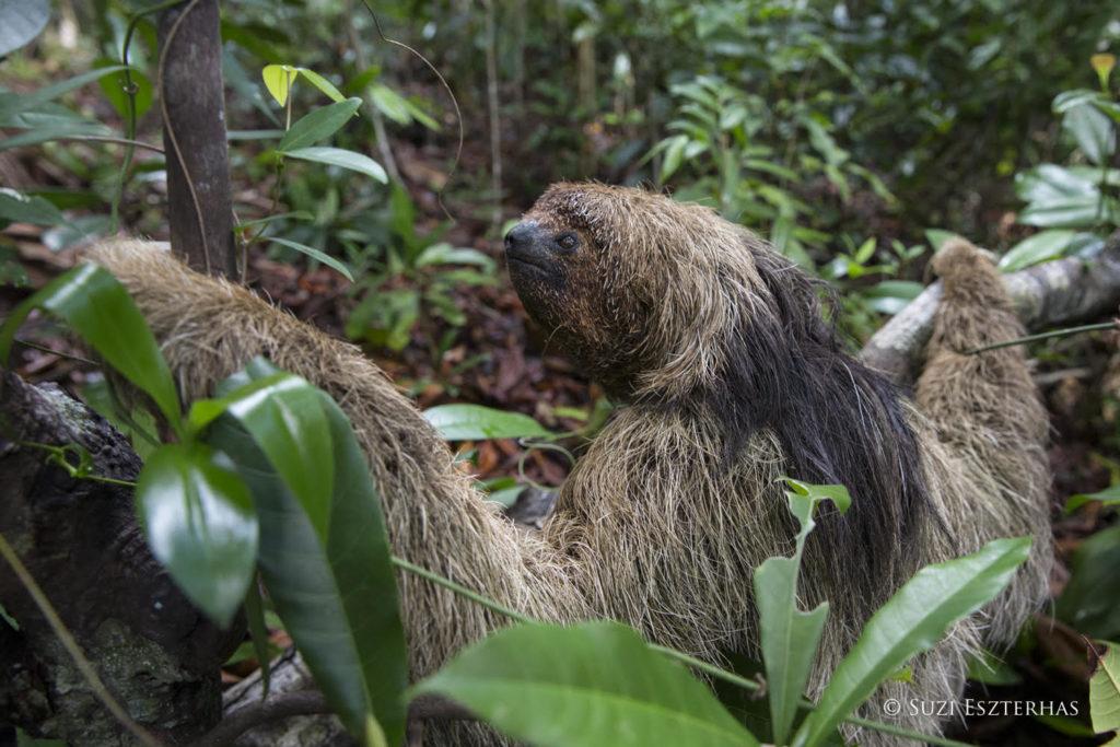 maned sloth suzi
