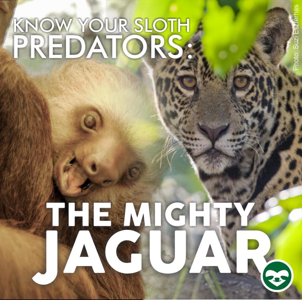 jaguar sloth predator
