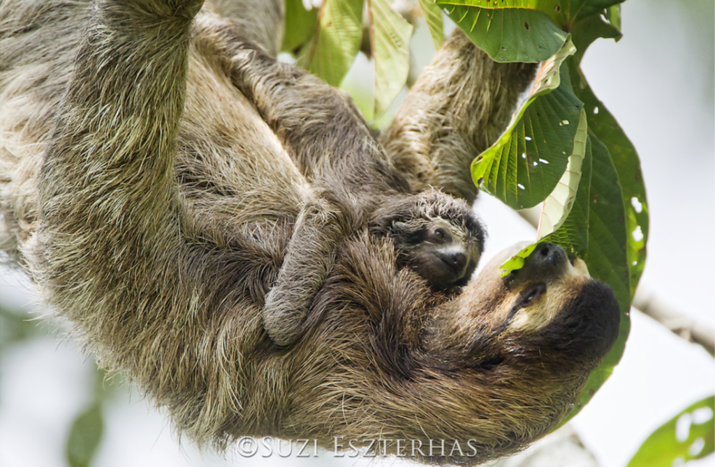 three-toed sloth with baby eating leaves