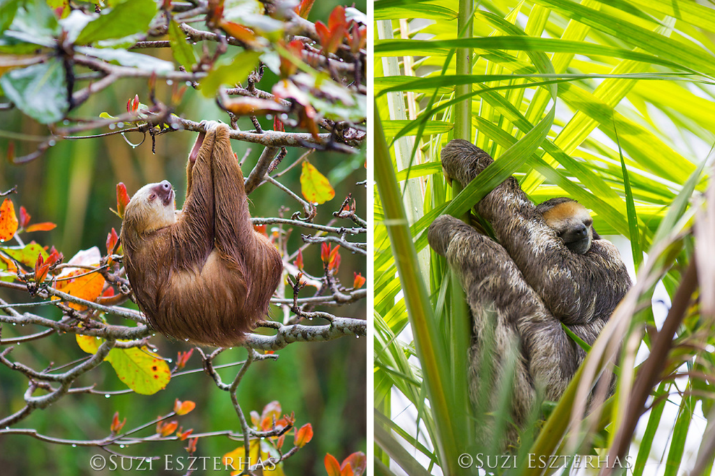 sloths sleeping in trees two-fingered two-toed three-fingered three-toed