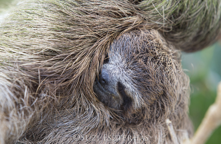 baby three-fingered three-toed sloth snuggling mother