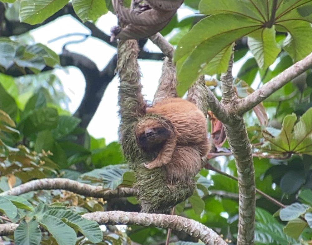 Three-fingered sloth 'adopts' a two-fingered sloth baby