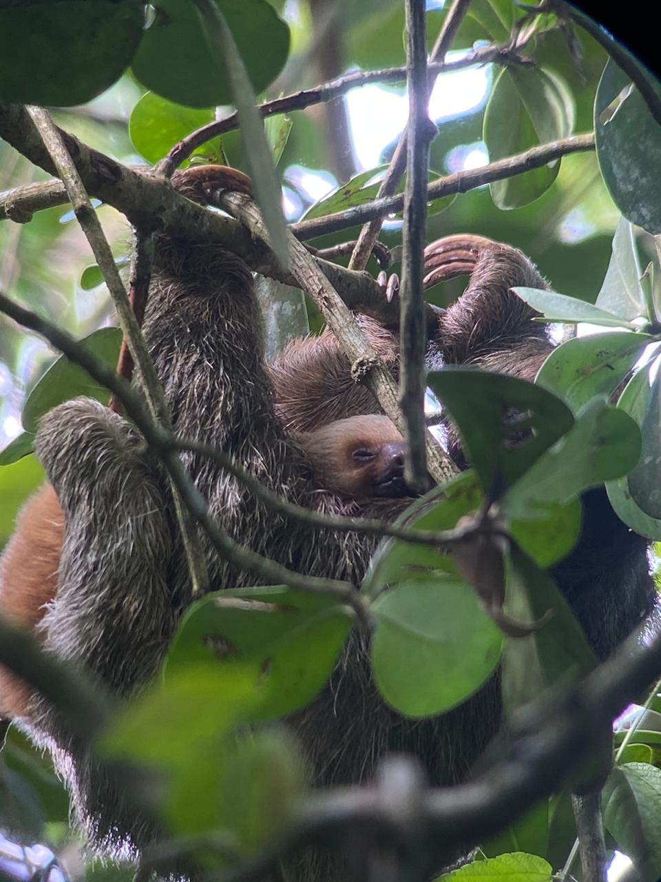 Three-fingered sloth 'adopts' a two-fingered sloth baby!