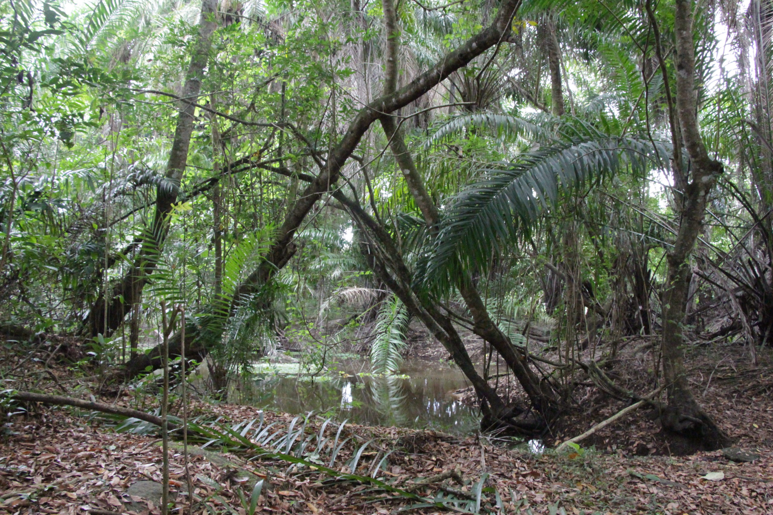 atlantic forest maned sloth brazil
