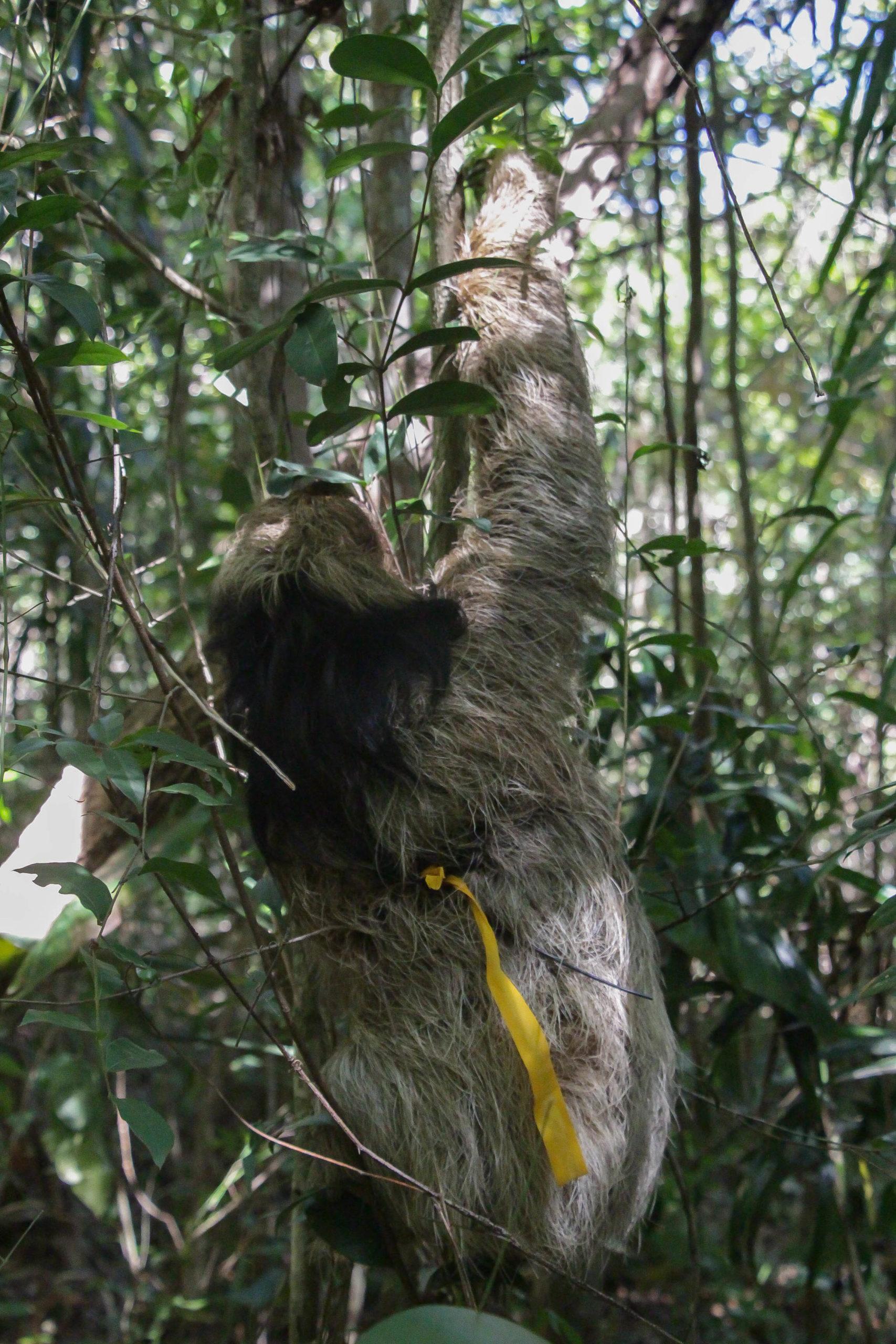 maned sloths brazil
