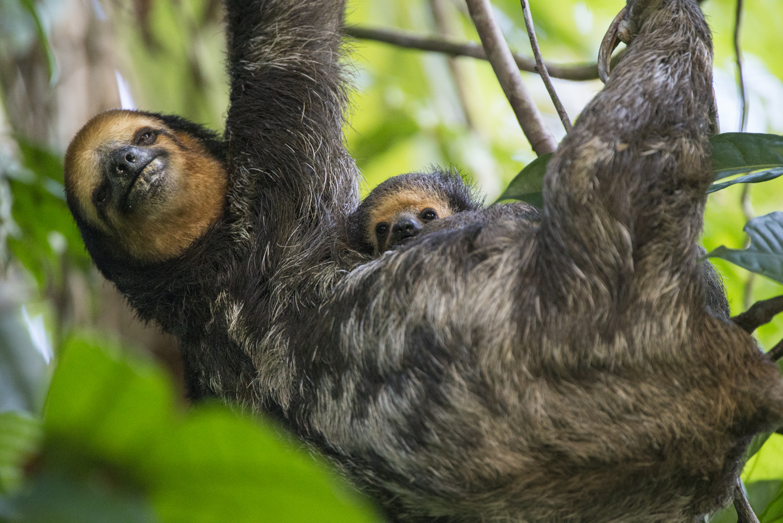 baby sloth pale throated nursing
