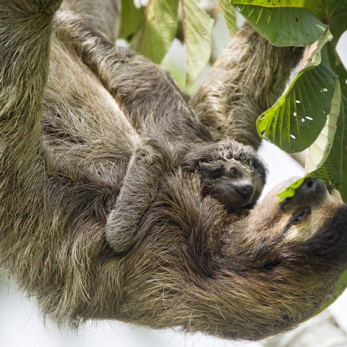 baby sloth feeding