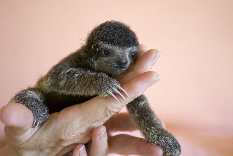 baby three toed sloth