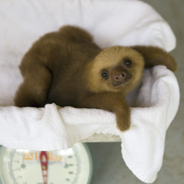 Hoffmann's Two-toed Sloth  Choloepus hoffmanni Orphaned baby on scale Aviarios Sloth Sanctuary, Costa Rica *Rescued and in rehabilitation program