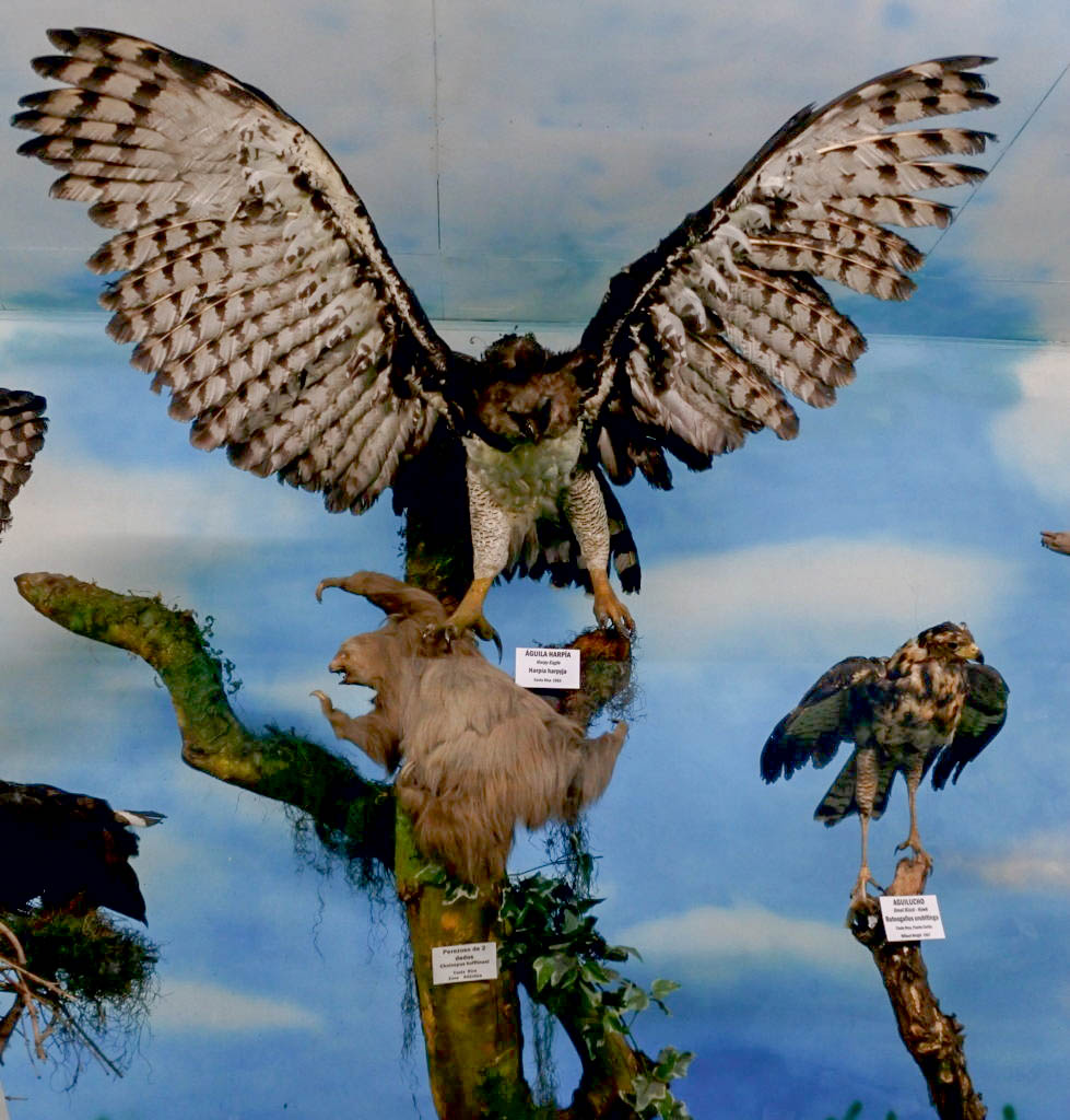 harpy eagle museum taxidermy