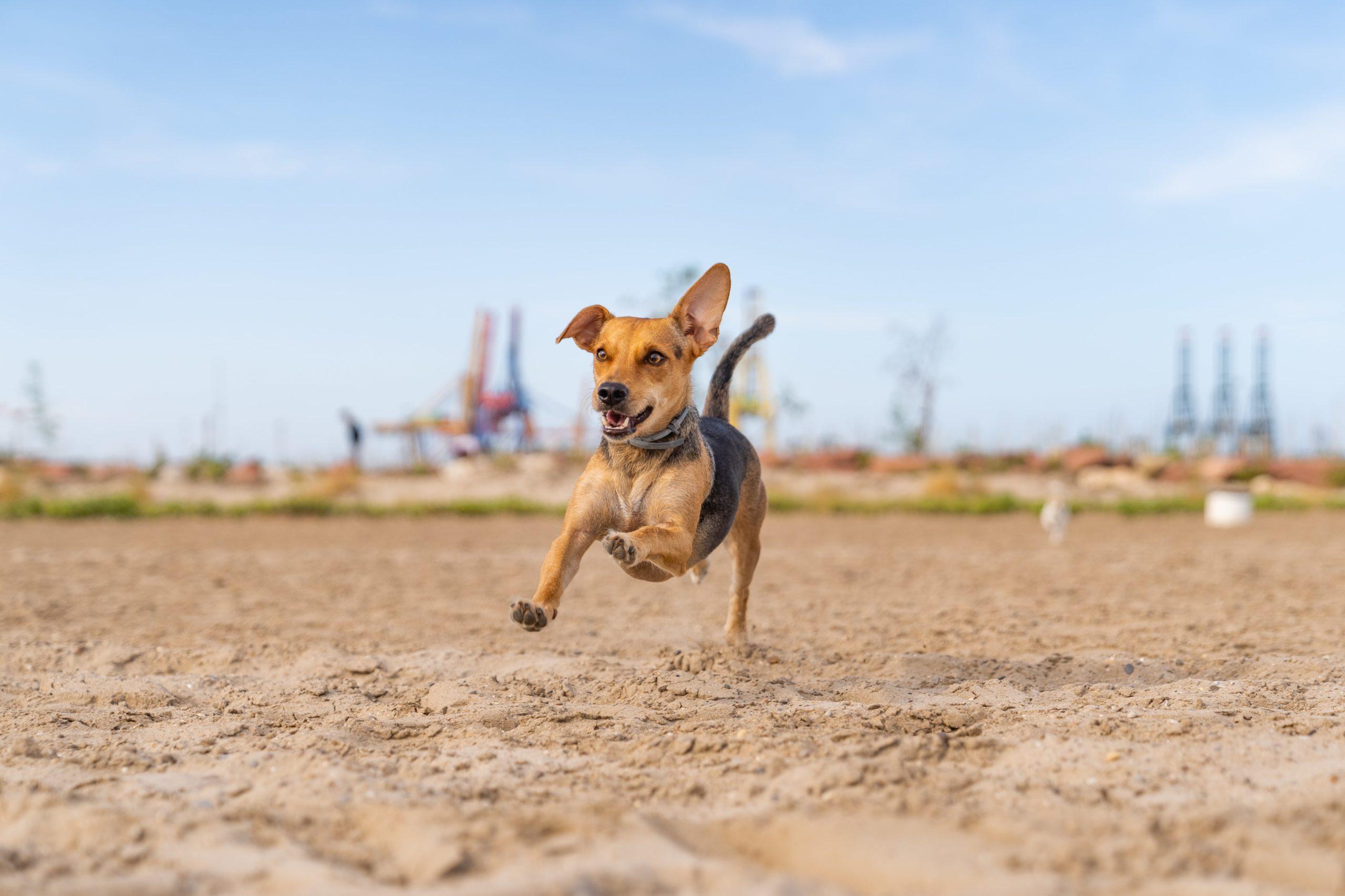 dog running trainning