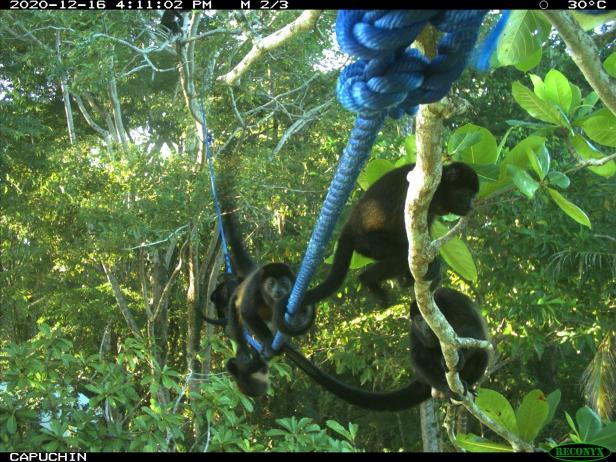 monkey crossings camera trap